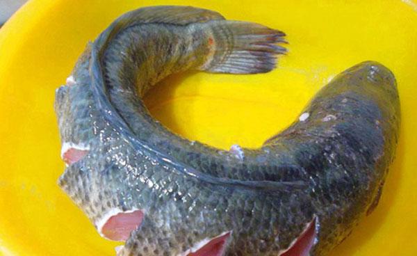 Chọn cá lóc tươi ngon cho món hấp